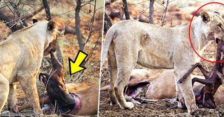 Львица ела жертву, но обнаружила, что та была беременной. Невероятная реакция!