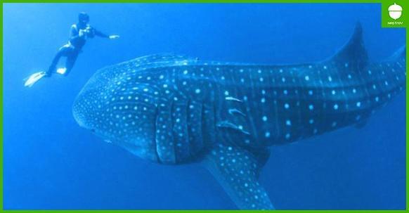 Дайвер не мог понять, что от него хочет этот морской великан. Пока животное не схватило его за руку