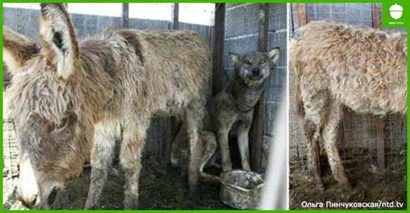 Чтобы накормить волка, хозяева кинули ему в клетку старого осла. Вот что сделал зверь!..