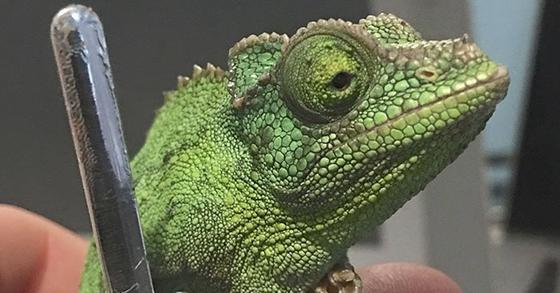 Кто то заметил эту необычную особенность хамелеонов, и интернет сошёл с ума