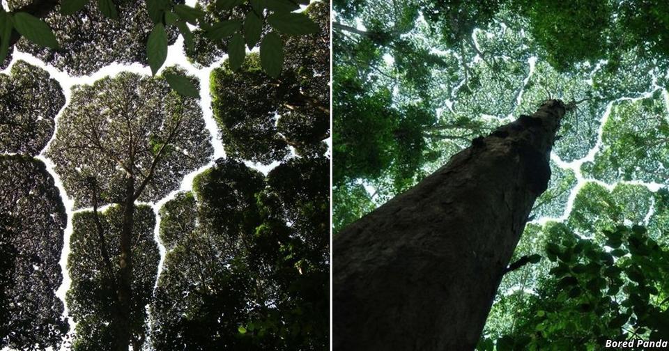 15 фоток уникального феномена, который доказывает, что у деревьев есть интеллект