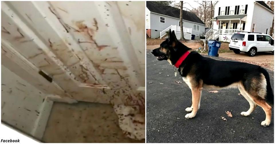 Когда их не было дома, к ним в дом забрался грабитель. Вот что с ним сделала собака!