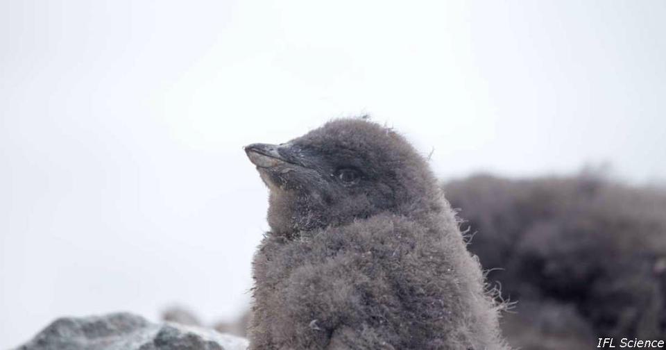 В Антарктиде   массовое вымирание пингвинов! Когда их не станет совсем?