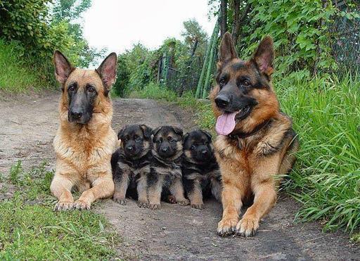 Немецкие овчарки - ужасные страшные собаки! Вот 15 причин, почему