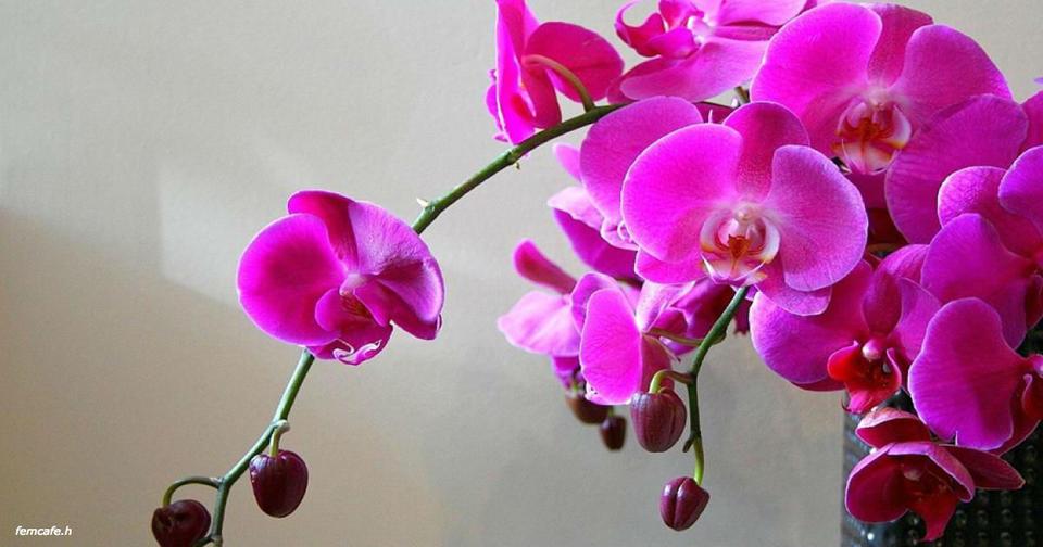 Никогда, Никогда не держите орхидею дома! В офисе   можно, дома   нет!