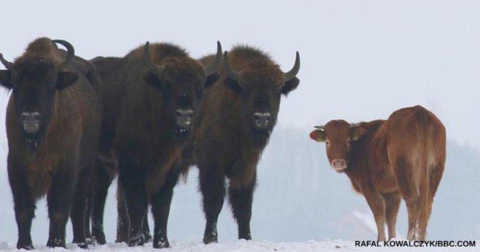 Корова сбежала от хозяина в Беловежскую пущу. Зубры ее приняли и защитили