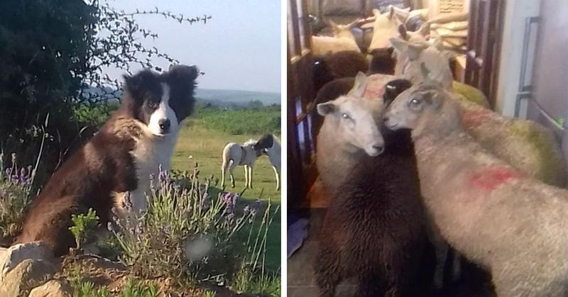 Этот маленький пёс решил, что в доме не хватает чего то тёплого и шерстяного, и привёл своей хозяйке стадо овец прямо на кухню. Достойный подарок достойного пса