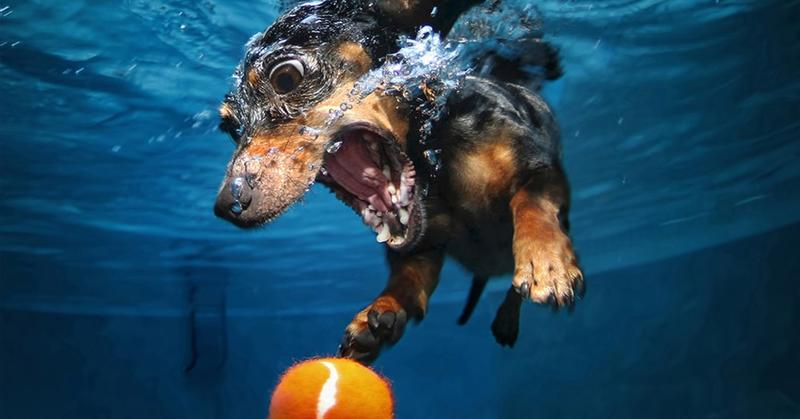 Такса так удачно прыгнула в воду за мячиком, что вынырнула оттуда уже звездой битвы фотошоперов. И вот несколько работ её участников