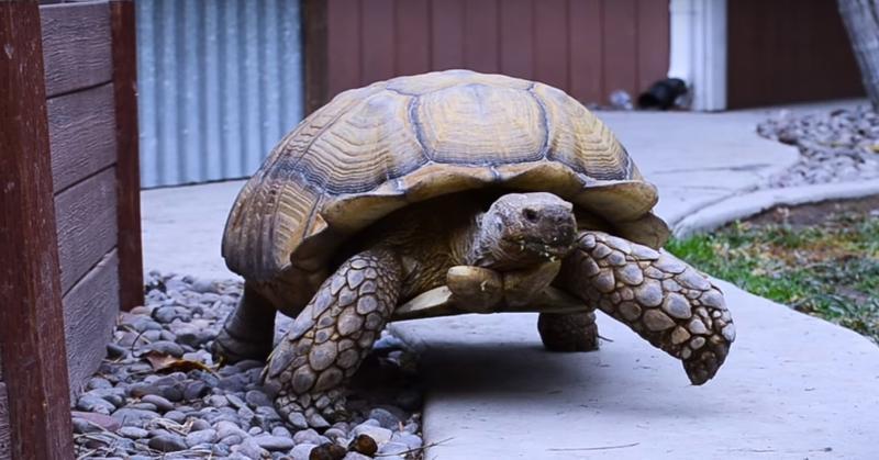 Эта черепаха никогда не ладила с другими животными, поэтому её хозяйка испугалась, когда один из её щенков неожиданно пропал. Она даже не подозревала, где его найдёт