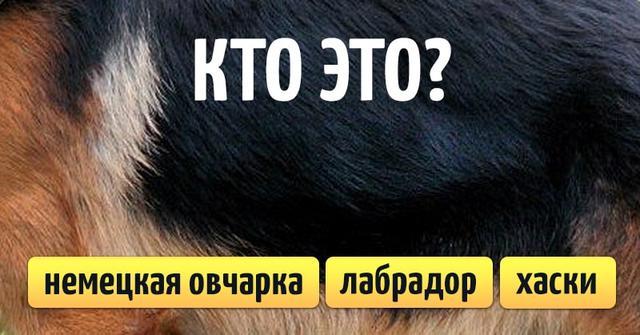 Тест: Угадайте породу собаки по окрасу шерсти