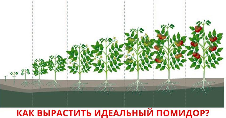 сам этапы выращивания помидоров в картинках являться