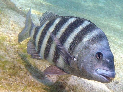 У этой рыбы - ″человеческие″ зубы, и она до ус..ачки напугала весь интернет! Вот самые интересные факты.