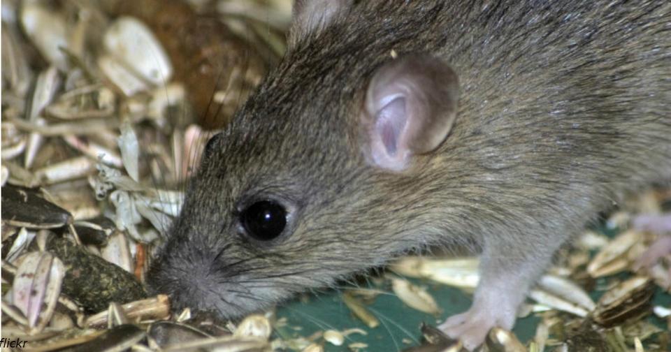 7 эффективных способов сделать так, чтобы мыши боялись ходить к вам в дом Или на дачу...