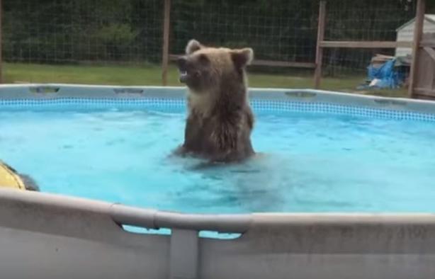 Медведь пришел ко мне домой, нырнул в бассейн, а потом даже улыбнулся на камеру Видео. которое я буду показывать внукам.