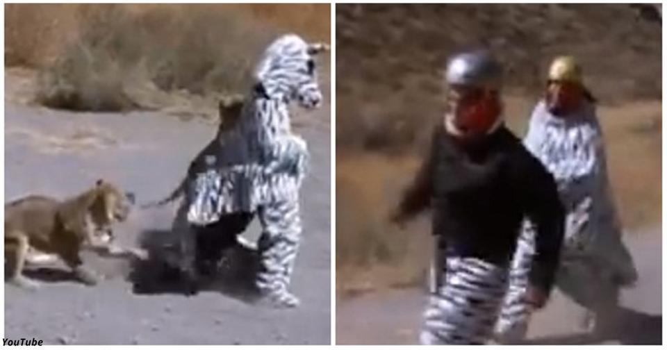 Двое парней придумали тупую шутку: одеться как зебра в саванне. Львы шутку не поняли... Они нескоро забудут эту историю!