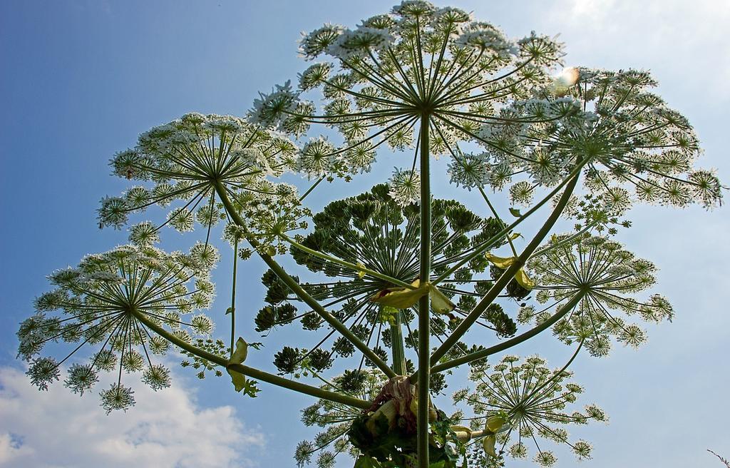 В СНГ - эпидемия борщевика. Вы должны его уничтожить, потому что это растение - монстр! Где-то уже даже штрафы дают.