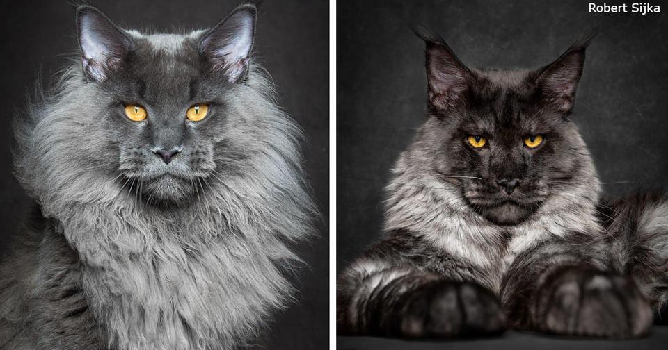 65 фото о том, почему Мейн кун   главный Бог королевства кошек Пушистые короли!