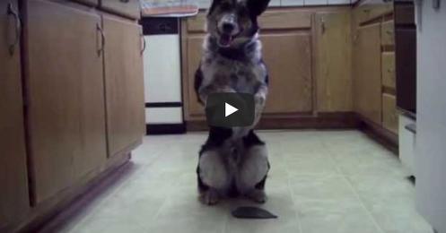 Самый умный пес в мире — так его прозвали. Только взгляните, ЧТО он вытворяет!