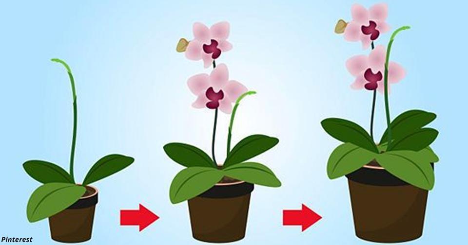 9 правил, чтобы орхидея цвела круглый год Требовательный, но прекрасный цветок.