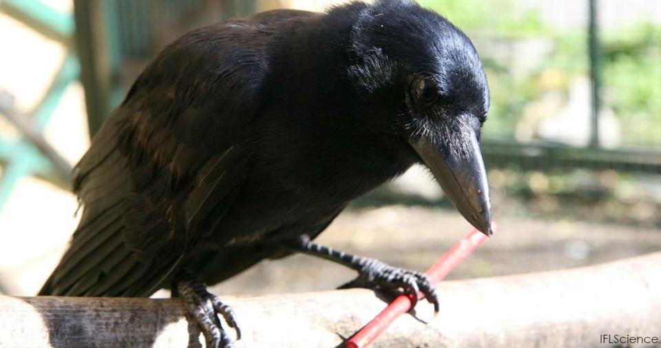 Новый эксперимент шокировал ученых: Вороны умнее, чем вы думаете, и они опасны! Вот так новость!