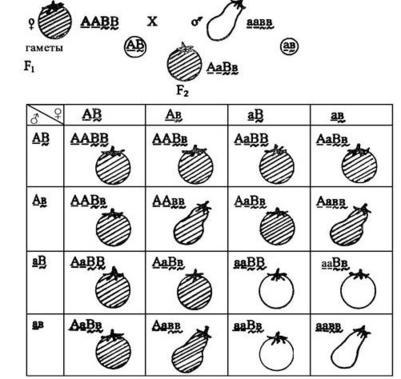 Решения задач по генетике с разъяснением составь задачу по картинке и реши ее