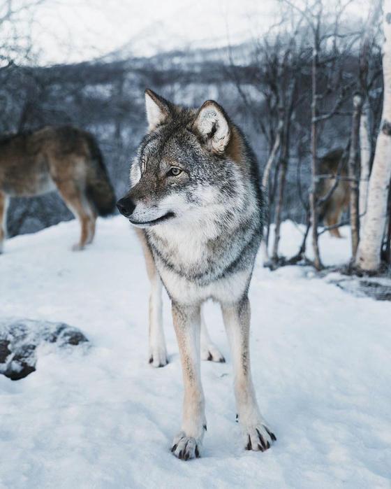 Ему удалось нечто: Редкий белый олень попал на камеру в Норвегии Невероятная встреча!