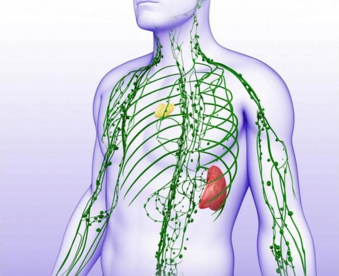 Особенности строения лимфатических капилляров