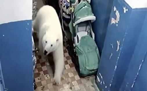 50 белых медведей ворвались в русский город - введен режим ЧП