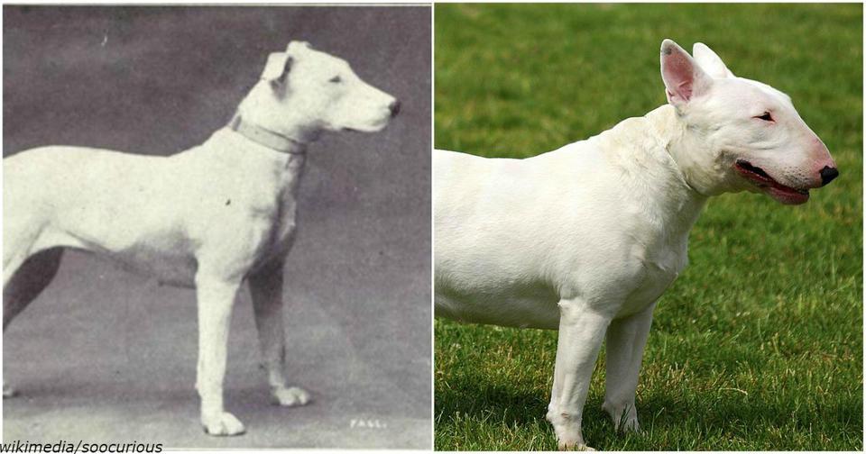 Вот как менялись известные породы собак за последние 100 лет