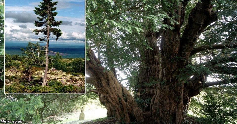 10 самых старых деревьев на Земле. Тяжело поверить, сколько они всего видели