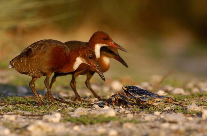 В Африке обнаружили птицу, которая считалась вымершей более 130 тысяч лет назад