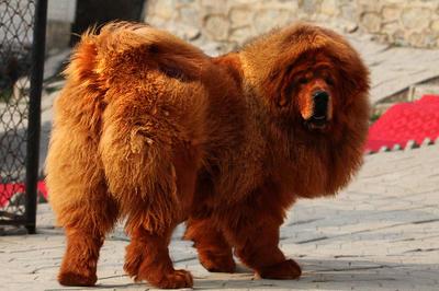 Вот как выглядит самая дорогая собака в мире. USD1,5 млн за одного щенка!