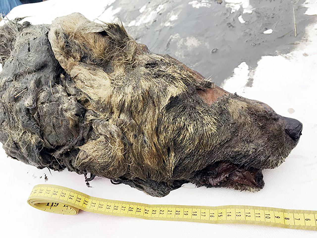В Сибири найдена голова волка, которую отрубили 40 000 лет назад