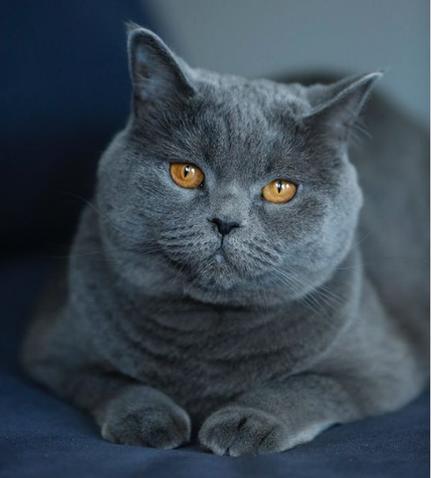 5 самых агрессивных пород кошек, которые нельзя подпускать к детям