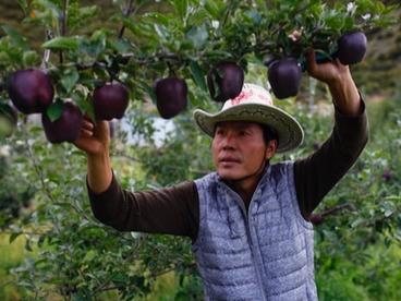 Черные алмазные яблоки продаются по USD20 за штуку, но никто не хочет их выращивать