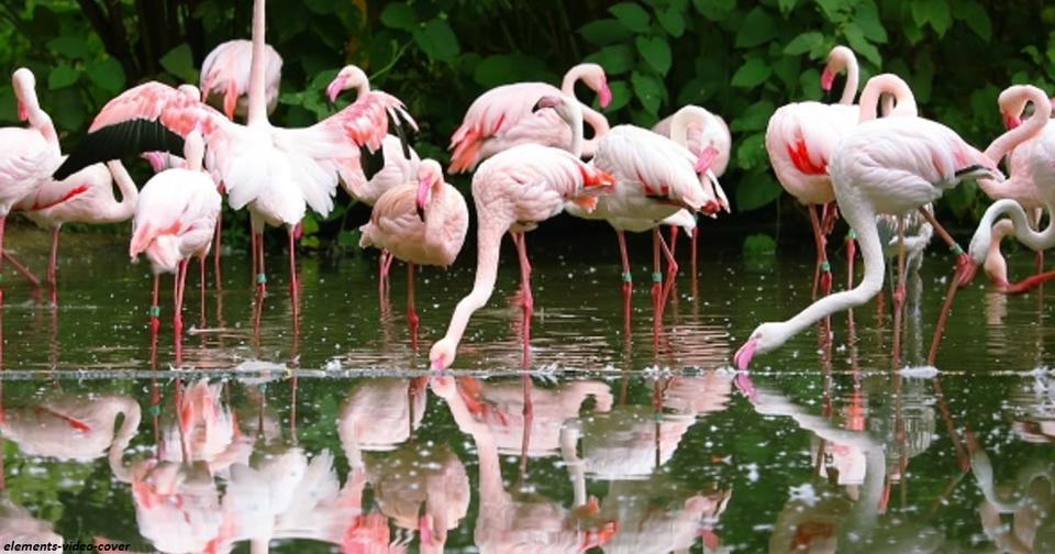 Фламинго имеют розовый окрас из за пищи, которой они питаются