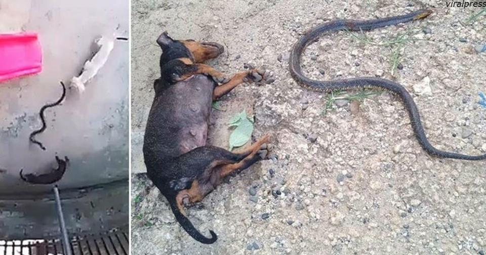 Собаки героически отдали свои жизни, чтобы спасти спящего малыша от кобры