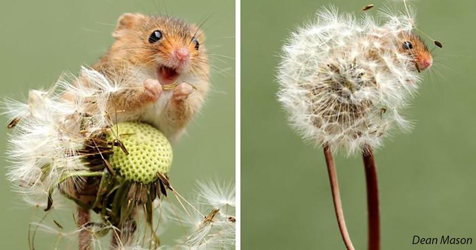 35 очаровательных фото полевых мышей, которые обожают собирать урожай