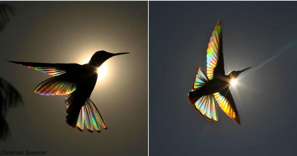 Природное явление превращает крылья колибри в крошечную радугу