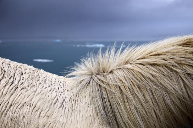 Я обожаю лошадей и Исландию. Вот что будет, если соединить их вместе