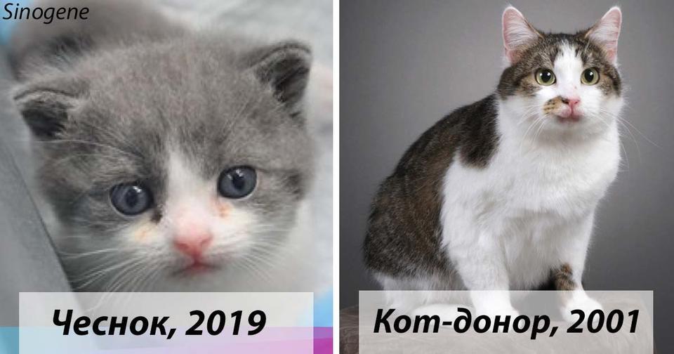 В Китае теперь можно клонировать свою любимую кошку - и она проживет с вами еще одну жизнь