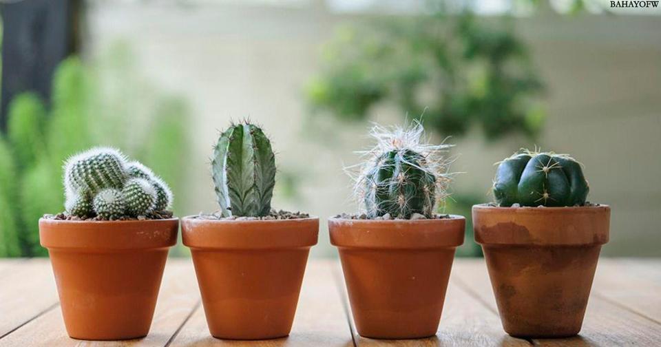 Можно ли держать кактус в квартире? Вот что на эту тему говорит фэн-шуй