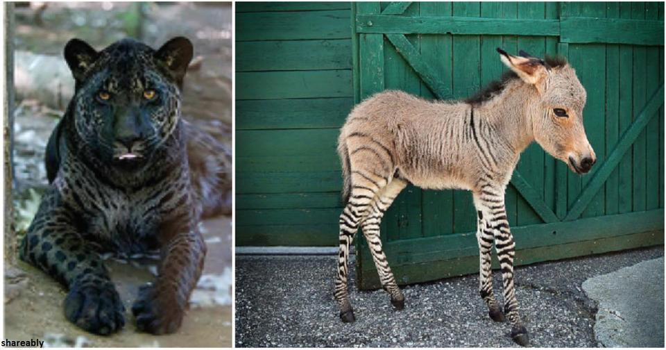 18 гибридных животных, которые получились в результате скрещивания двух разных видов
