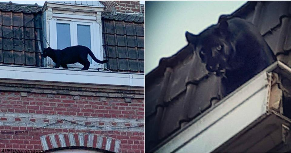 Черная пантера ходит по крышам   и пугает весь город