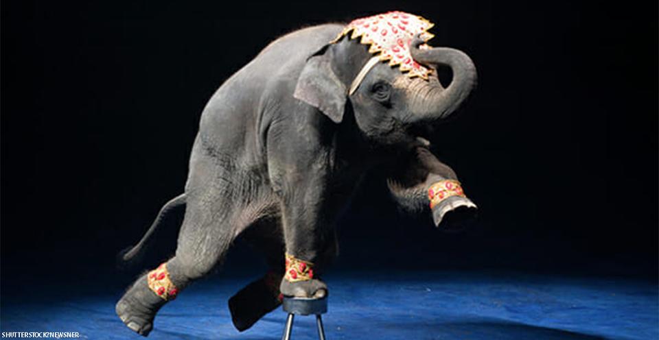 Зоопаркам запретили покупать диких слонов: теперь они все будут на воле