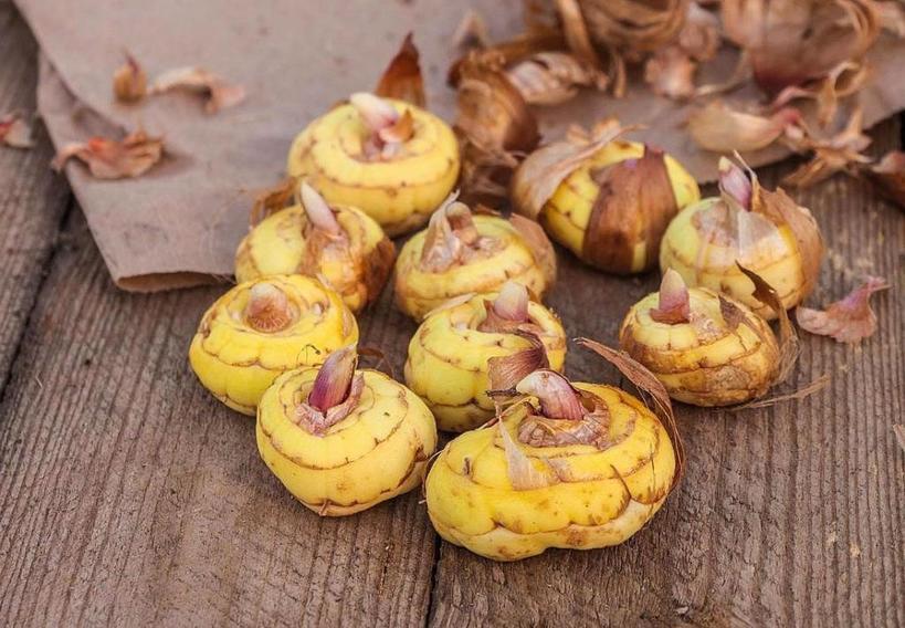 В доме, на балконе, в холодильнике или погребе: плюсы и минусы хранения луковиц гладиолусов в различных местах