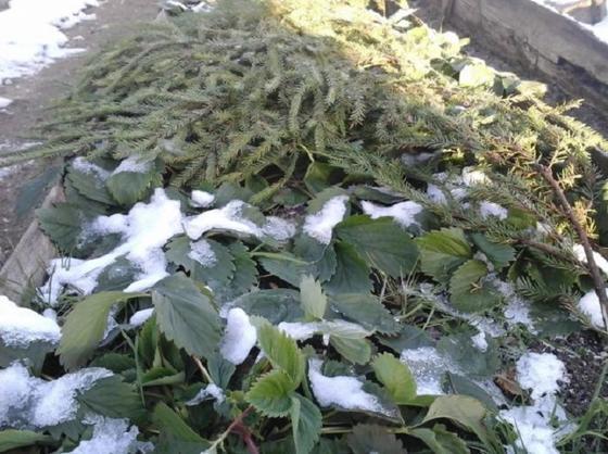 Зима на пороге: соседка провела эксперимент и рассказала мне, нужно ли укрывать клубнику на зиму