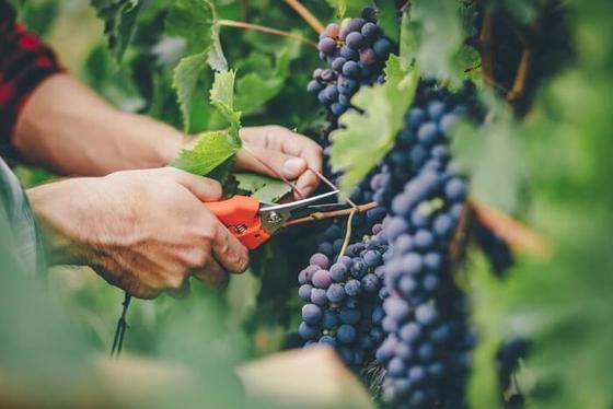 10 научно доказанных причин, почему виноград очень полезен для здоровья. Улучшает зрение, повышает настроение, снижает уровень сахара и многое другое