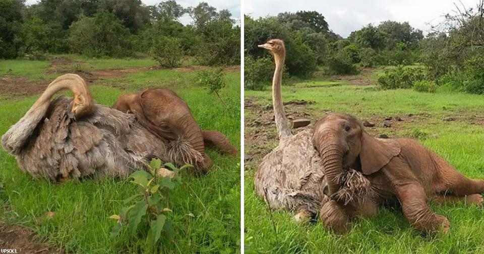 Слон сирота каждый день обнимает страуса. Он потерял мать, но приобрел друга
