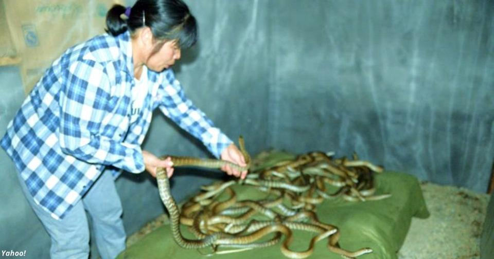 Китайский коронавирус передался людям от змей